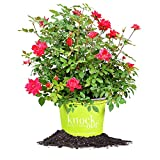 DOUBLE RED KNOCK OUT ROSE - Size: 3 Gallon, live plant, includes special blend fertilizer & planting guide Photo, bestseller 2018-2017 new, best price $85.18 review