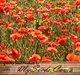 BIG PACK - RED POPPY (100,000) HEAVY BLOOMER flower Seeds - Papaver rhoeas - Zones: 3-9 By MySeeds.Co Photo, bestseller 2018-2017 new, best price $16.95 review