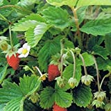 Wild Strawberry- 100 Seeds Photo, bestseller 2018-2017 new, best price $1.49 review