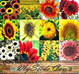 BIG PACK - SUNFLOWER Sunny Sun Flower CRAZY MIX (1,000+) flower Seeds - Non-GMO Seeds By MySeeds.Co Photo, bestseller 2017-2016 new, best price $13.95 review