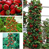Red 300 pcs Strawberry Climbing Strawberry Fruit Plant Seeds Home Garden New Photo, bestseller 2018-2017 new, best price $1.76 review