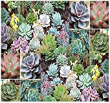 20 x DESERT ROSE ECHEVERIA SPECIES MIX - Excellent Indoor House Plants - CACTUS SUCCULENTS SEEDS - By MySeeds.Co Photo, bestseller 2018-2017 new, best price $8.95 review