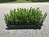 Winter Gem Boxwood Qty 15 Live Plants Evergreen Formal Hedge Photo, bestseller 2018-2017 new, best price $44.51 review