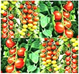 25 TUMBLER CHERRY GRAPE Tomato seeds HEIRLOOM GREAT 4 BASKET EXCEPTIONALLY SWEET Photo, bestseller 2018-2017 new, best price $5.95 review