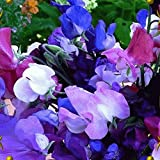 Everwilde Farms - 50 Knee High Mix Sweet Pea Wildflower Seeds - Gold Vault Jumbo Seed Packet Photo, bestseller 2018-2017 new, best price $3.00 review
