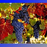 New Rare French Cabernet Sauvignon Grape Bush Organic Seeds, Professional Pack, 15+ Seeds / Pack Photo, bestseller 2018-2017 new, best price $8.29 review