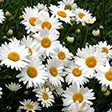 Shasta Daisy Seeds - Perennial Flower - Butterfly Nectar 3,000 Seeds Photo, bestseller 2019-2018 new, best price $8.89 review