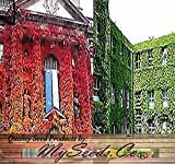 BIG PACK - 1/2 oz (450+ Seeds) Woodbine Grape Boston Japanese Creeper Ivy Parthenocissus tricuspidata Seeds - By MySeeds.Co Photo, bestseller 2017-2016 new, best price $24.95 review