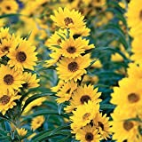 100+MAXIMILIAN (Prairie) SUNFLOWER Seeds American Native Wildflower PERENNIAL Photo, bestseller 2018-2017 new, best price $6.00 review