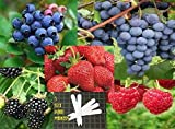 Fruit Combo Pack Raspberry, Blackberry, Blueberry, Strawberry, Grape (Organic) 525+ Seeds 646263361504 Self Fertile + 5 Free Plant Marker Photo, bestseller 2018-2017 new, best price $7.99 review