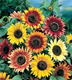 All Sorts Mix Sunflowers, 25+ (25-50) Premium Heirloom Seeds, ON SALE!, (Isla's Garden Seeds), 99.38% Purity, 90% Germination, Highest Quality! Photo, bestseller 2018-2017 new, best price $1.00 review
