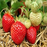 Seascape Beauty Everbearing 25 Live Strawberry Plants, NON GMO, Photo, bestseller 2018-2017 new, best price $13.95 review