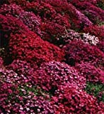 50+ Aubrieta Rock Cress Bright Red Perennial Flower Seeds / Ground Cover Photo, bestseller 2017-2016 new, best price $1.90 review