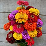 David's Garden Seeds Flower Zinnia California Giants OS0987 (Multi) 500 Heirloom Seeds Photo, bestseller 2018-2017 new, best price $8.45 review