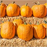 Package of 100 Seeds, Connecticut Fields Pumpkin (Cucurbita pepo) Non-GMO Seeds by Seed Needs Photo, bestseller 2018-2017 new, best price $3.65 review