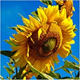 Package of 160 Seeds, Mammoth Grey Stripe Sunflower (Helianthus annuus) Non-GMO Seeds by Seed Needs Photo, bestseller 2018-2017 new, best price $3.65 review