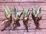 Yellow & Blue/Green Agave Cactus Plant - Small (Live Bareroot Plant) Photo, bestseller 2018-2017 new, best price  review