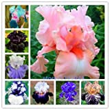 BeeSpring Hot Sale 100pcs iris seeds,Iris orchid seeds,Rare Heirloom Tectorum Perennial Flower Seeds,24 colours to choose,plant for home gatden Photo, bestseller 2017-2016 new, best price $2.00 review