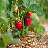 Quinalt Everbearing 10 Live Strawberry Plants, NON GMO, Photo, bestseller 2018-2017 new, best price $11.95 review