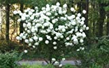 Chinese Snowball Bush - Live Plant - Shipped 1 to 2 Feet Tall (No California) Photo, bestseller 2018-2017 new, best price $23.95 review