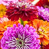 250 Zinnia Seeds - Giant California Mix - Heirloom Flower Photo, bestseller 2018-2017 new, best price $7.98 review