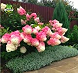 50 Vanilla Strawberry hydrangea Flower Seeds for planting in pot or ground easy to grow flower seeds as bonsai or tree Photo, bestseller 2017-2016 new, best price $6.90 review