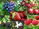 Fruit Combo Pack Raspberry, Blackberry, Blueberry, Strawberry, Apple (Organic) 525+ Seeds 647923989472 Self Fertile + 5 Free Plant Marker - Stocking Stuffers Photo, bestseller 2018-2017 new, best price $12.00 review