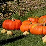 Pumpkin Cinderella Vegetable Seeds (Cucurbita maxima) 40 Seeds Photo, bestseller 2018-2017 new, best price $19.99 review