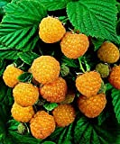 12 Seeds of Golden Harvest Raspberry Bush Photo, bestseller 2018-2017 new, best price $12.99 review