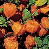 Burpee Strawberry Ground Cherry Chinese Lantern Seeds 175 seeds Photo, bestseller 2018-2017 new, best price $9.69 review