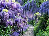 BLUE MOON WISTERIA VINE - FRAGRANT FOOT LONG FLOWERS - ATTRACTS HUMMINGBIRDS - 2 - YEAR PLANT Photo, bestseller 2018-2017 new, best price $22.15 review