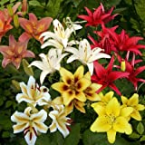 Asiatic Lily Mix -10 Perennial Flower Bulbs Photo, bestseller 2018-2017 new, best price $21.95 review