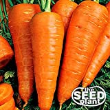 Danvers Half Long Carrot Seeds - 1000 SEEDS NON-GMO Photo, bestseller 2018-2017 new, best price $1.95 review