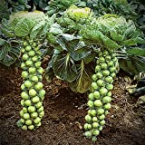 Brussels Sprout Seeds - 200+ Rare Heirloom Brussel Sprout Seeds (Long Island Improved) Yields 50-100 Sprouts per Plant! Guaranteed to Grow Photo, bestseller 2018-2017 new, best price $1.89 review